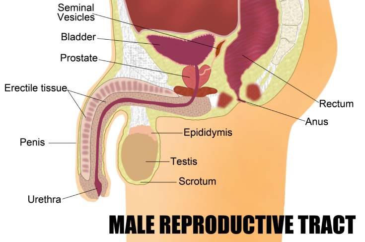 Reproductive Organs Of A Man: Know More About Male Anatomy